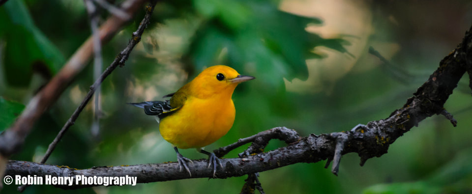 Prothonotary Warbler-0580